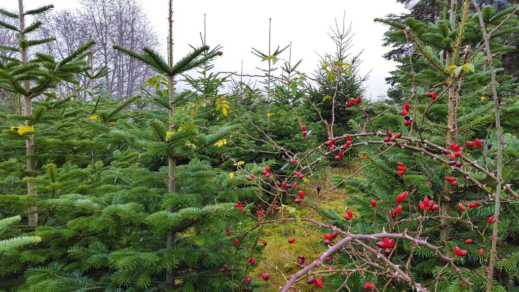 http://xn--launers-weihnachtsbume-j5b.de/wp-content/uploads/2015/11/baumzucht_01.jpg